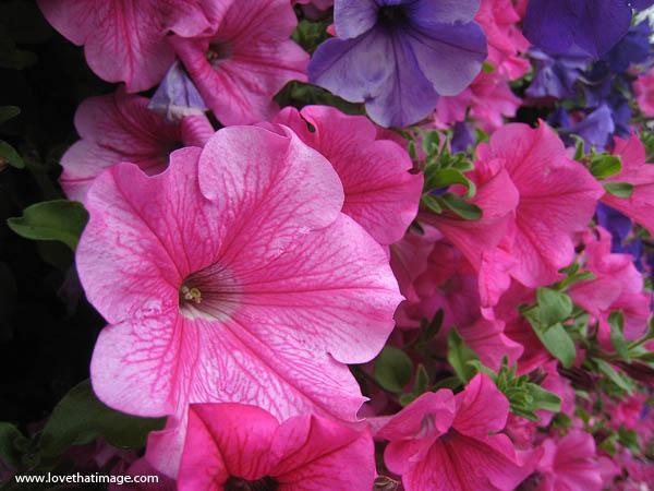 veined petunia, masses of petunias, single petunias, pink and purple petunia blossoms