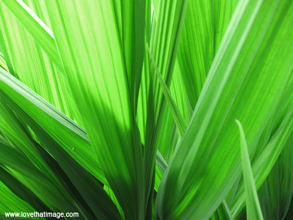 gladiolus green leaves, sword leaves, shadows, sunshine