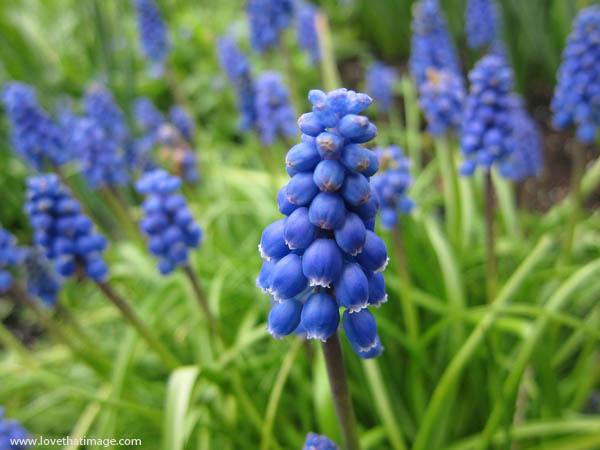 muscari, little blue bells, spring bulbs, grape hyacinths, spring flowers