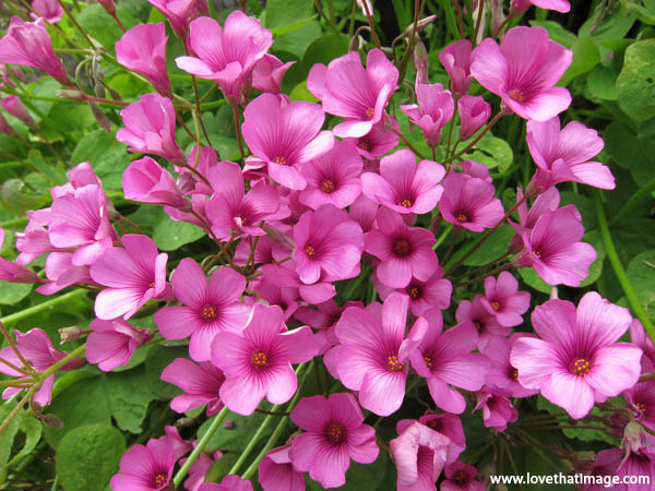 small pink flowers, five petals, pink oxalis, clover leaf flowers