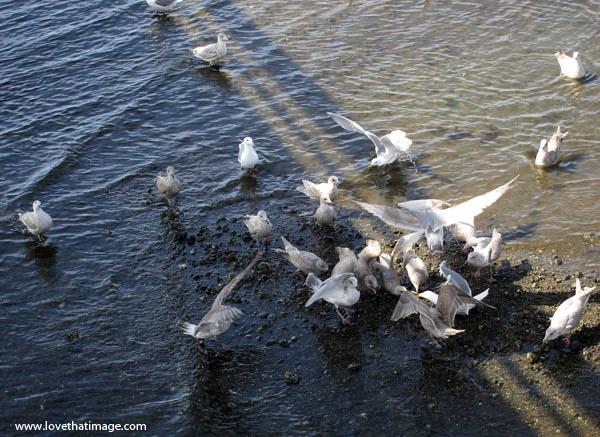 flock of birds, shadows, water's edge, coast, feeding frenzy