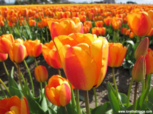 skajit valley tulip festival, tulip macro, orange and red blush tulips, field of tulips, sunny