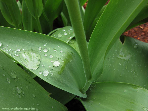 raindrops, water drops, stem, broad leaves, tulips, macro
