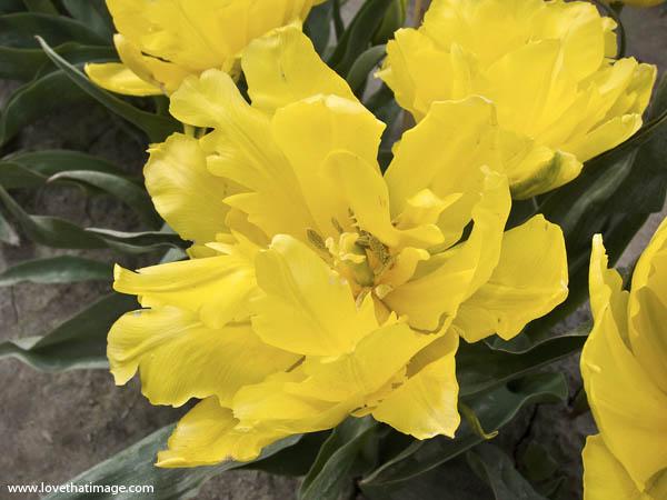 yellow parrot tulip, fancy tulip, golden tulip, ruffled petals