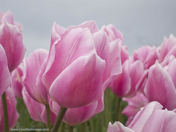 pink tulips, pink and white tulips, tulip fest, skagit tulip festival, looking up, cloudy skies, overcast, gray skies
