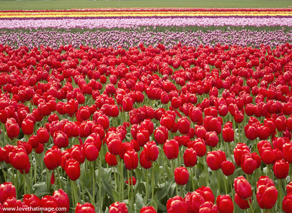field of tulips, stripes, red and pink, red tulips
