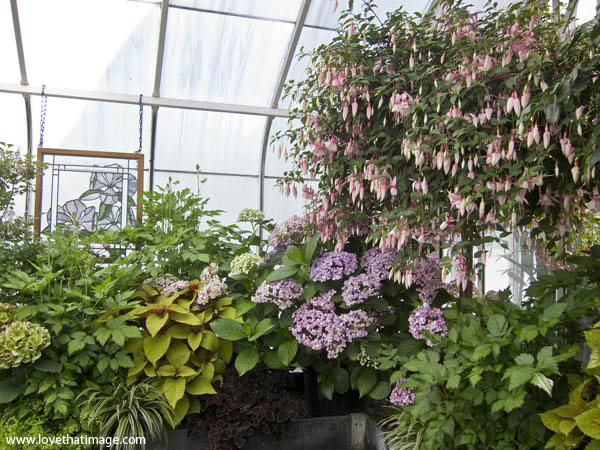 fuchsia hanging basket with pink buds, hydrangea, astilbe, coleus, stained glass window, conservatory