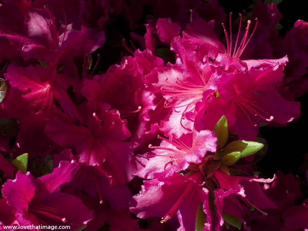 rhodendron macro, sunlight on rhodies, stamens, brilliantly lit red rhodendrons