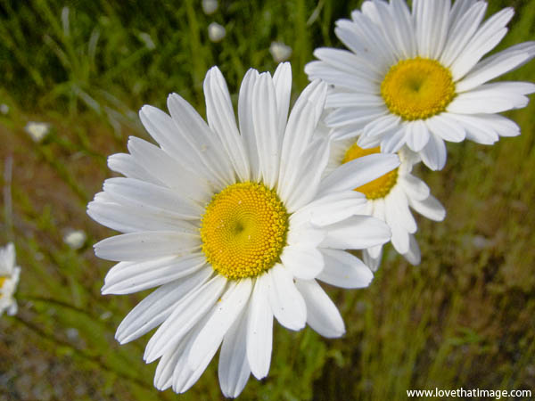 daisy, macro, yellow center, yellow and white, weed, roadside daisy, loves me loves me not