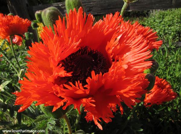 shirley poppy, fringed poppy, big red poppy with black center, fringed petals