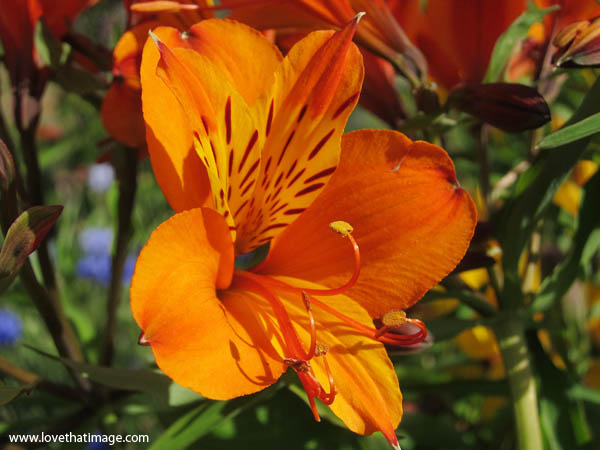 peruvian lily, macro, flower, spotted petals, close up, orange, yellow
