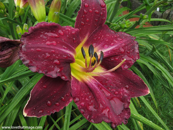 dark red daylily, burgundy daylily, dark day lily with yellow center