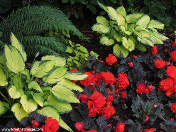Hostas And Red Begonias Saras Fave Photo Blog