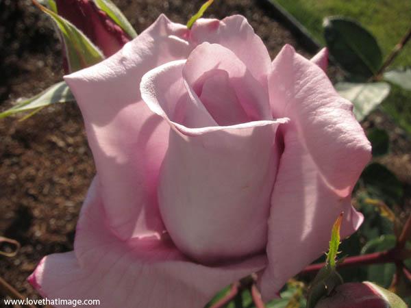 rosebud, half blown rose, rose bud, lavender rose, blue girl rose