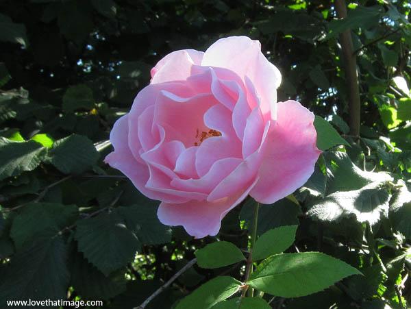 pink rose macro, petals, simplicity rose