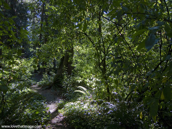 pacific northwest woods, summer forest scene, green leaves on trees, sunlight on path