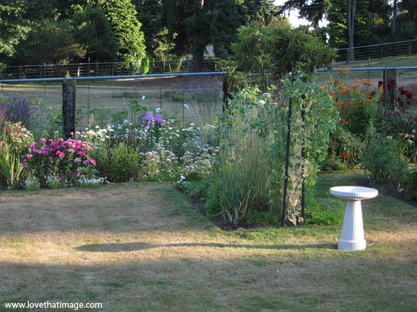summer garden, white birdbath, shadows, pea vines, godetia