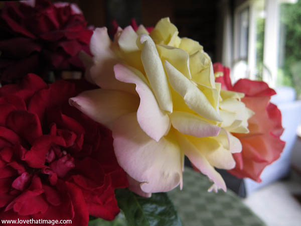 peace rose, rose macro, bouquet, garden roses bouquet