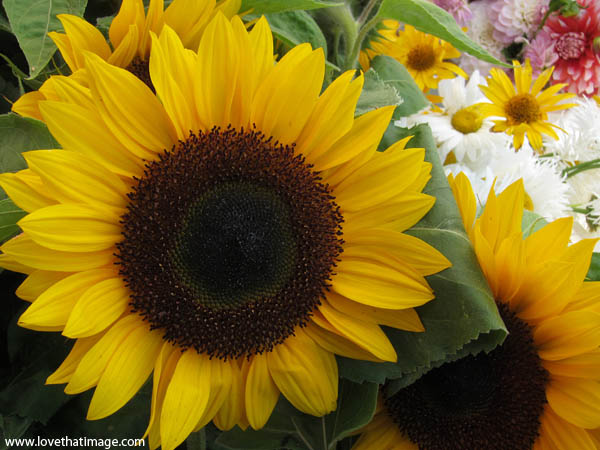 sunflowers bouquet, sunflower with dark center and yellow petals
