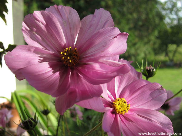 pink cosmos macro, blossoms, garden, yellow center, pink petals
