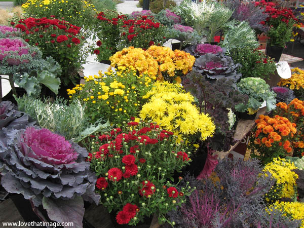 mums, chrysanthemums, flowering kale, farmers market, fall flower display, yellow mums, red mums