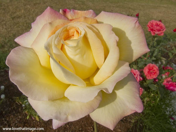 peace rose, 3/4 open, yellow rose with pink edges, garden rose macro