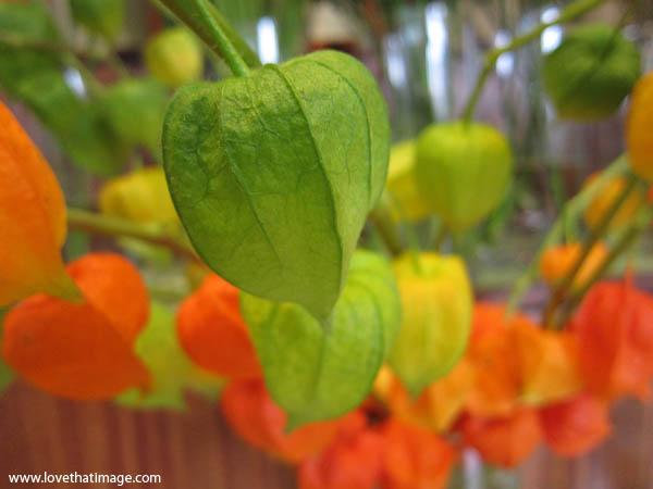 chinese lantern flower, green flower, orange flower