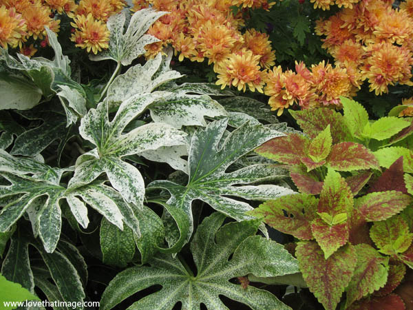 spider web fatsia, orange mums, orange chrysanthemums, coleus