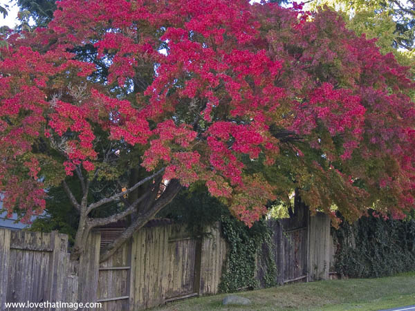 autumn foliage, red maple leaves, rustic fence, fall color