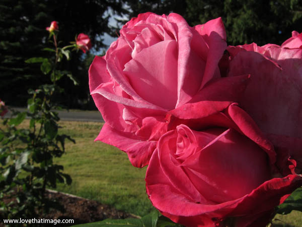 front page rose, deep pink roses, roses in a garden, rosebush, perfect roses, pink roses