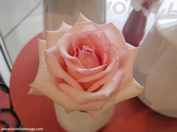 full blown pink rose, light pink rose in vase, open pink rose, rose macro