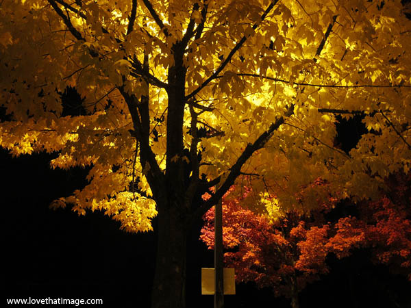 fall foliage at night, red and yellow leaves, nighttime leaves, streetlamp on tree