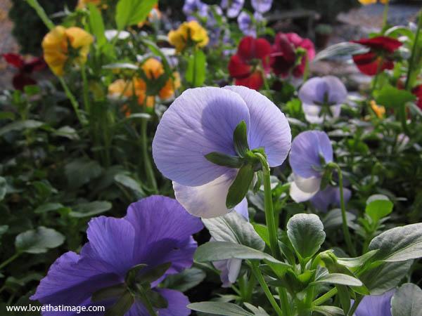 lavender pansies, purple pansies, garden pansies, pansies from the back