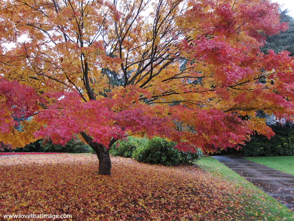 fall leaves, japanese maple tree in autumn, red and gold leaves, rainy day