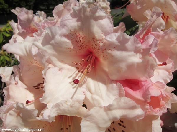 rhodie, rhodies, pink rhododendron macro flowers, close up of pink rhodies, peach rhodies