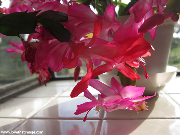 christmas cactus, blooming succulent, tile windowsill, sunshine, flower close up, reflections