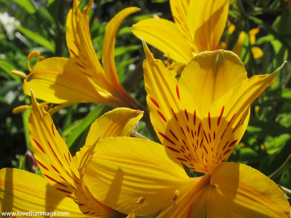 peruvian lily macro, yellow alstroemeria macro, close up, yellow with red spots