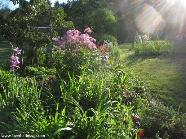 meadow rue, purple iris, red geum, spiky leaves, summer garden scene, sunlight blazing