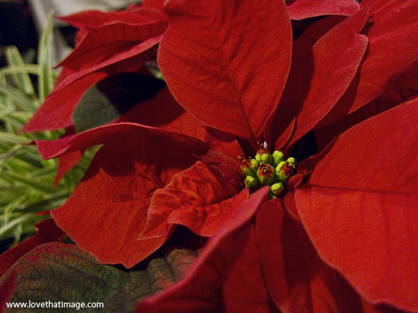 poinsettia macro, poinsettia close up