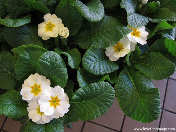 white primroses macro, primrose leaves, white and yellow primroses, primroses with yellow centers