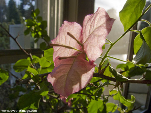 pink bougainvillea macro, close up, bract, pale pink flower indoors