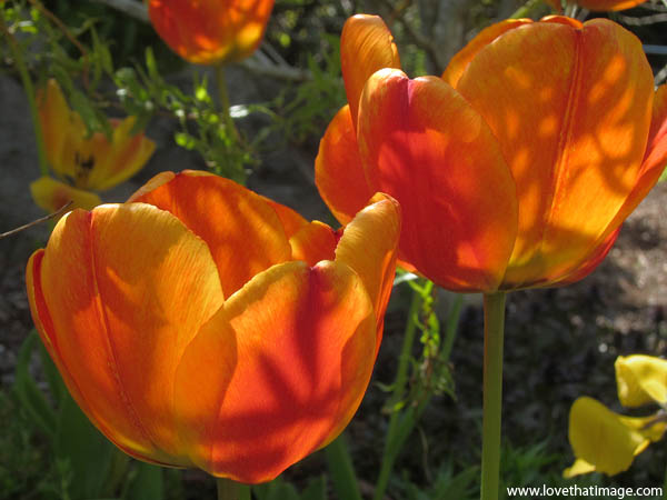 orange blush tulips, tulips in sun and shadow, tulip macros, red and orange tulips