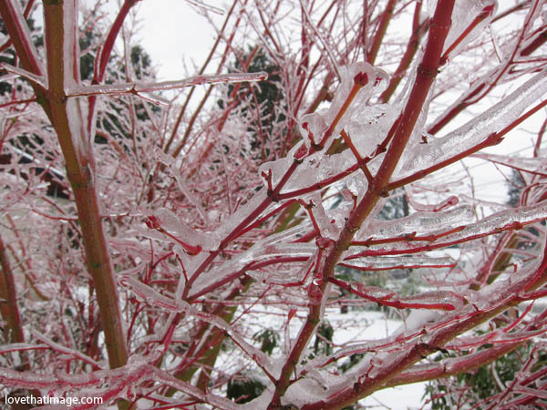 red maple branches in ice, ice coating branches, coral bark japanese maple in winter