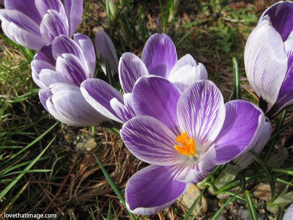 lavender crocus, purple and lavender striped crocus, orange center crocus, crocuses in bloom