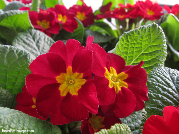 red primroses with yellow centers, primulas, nursery primroses, backlit primroses