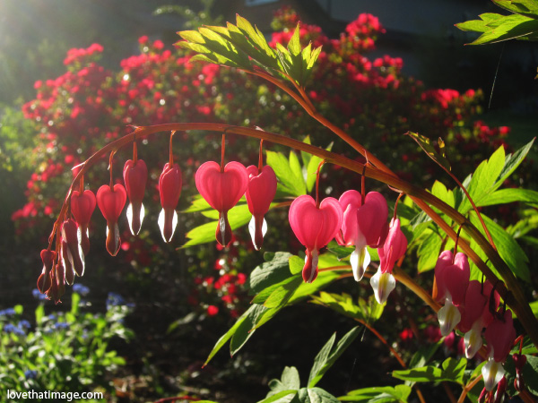 bleeding heart, pink and white heart shaped flower, dicentra, shadows