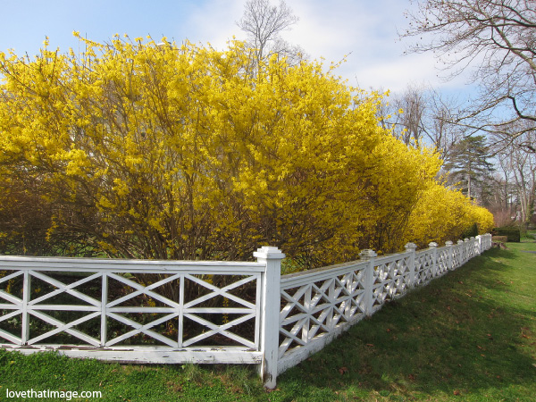 yellow flowers, yellow hedge, connecticut forsythia spring scene, white wood fence