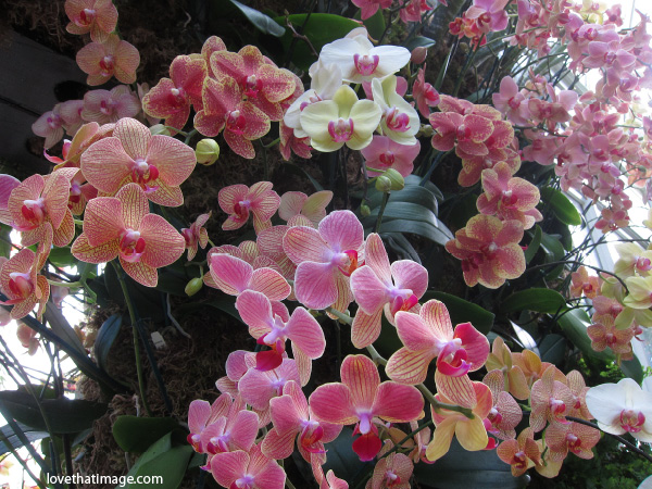 orchid display, pink shades of orchid flowers, nybg orchid show