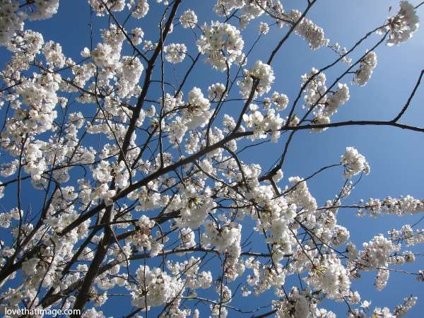 Part 2 spring blooming trees against a sunny blu sky white flowers tree branches with white mightylinksfo