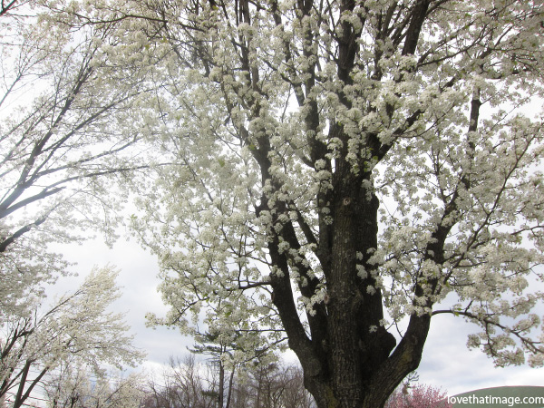 Flowering white tree saras fave photo blog spring springtime blooming white tree big tree with white flowers old tree mightylinksfo